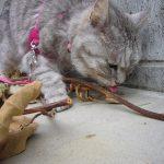 またたび(キウイ)をテイクアウトする猫