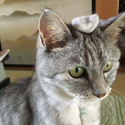 換毛期のピークが過ぎた猫