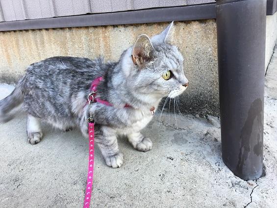 散歩から一目散に走って家に帰る猫