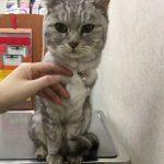 下痢嘔吐で猫受診 肝臓が再び上昇