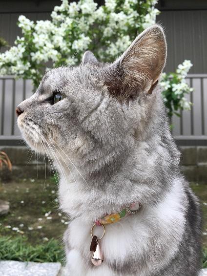 胃腸炎からほぼ回復の猫に桜のお土産