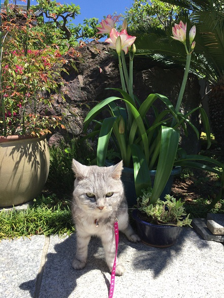 ご近所さんに頂いたアマリリスと大股開きの猫