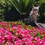 満開のさつきと石から飛び降りる猫