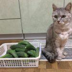 きゅうりで猫を驚かせるなんて信じられない