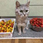 '2017夏 ひたすら猫とトマト 苗間違い《動画あり》