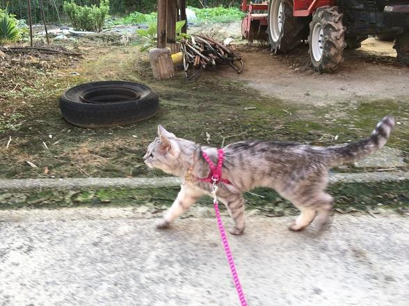 お散歩大好き猫の散歩風景《動画あり》文末に第三の病院について