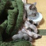 【動画あり】ストーブで暖まったので寝ながら水を飲む猫
