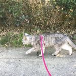 【動画あり】ひさびさ道路を散歩する猫 歩き方が気になる