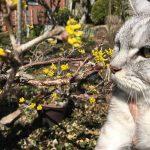 咲き始めたサンシュユと猫 その後嘔吐