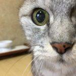 刺身が欲しくて仕方がない猫