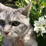 すっかりノーリードで散歩する猫 4月10日のミル