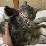 人生初!トイレ以外にうんちをした後、人生初じいやの布団で寝るシニア猫