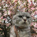 今年も猫と花水木 '2018 3回も撮影おつかれさま