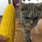 初成りのトウモロコシと猫&梅シロップ '2018