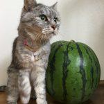 自家製スイカと落ちている猫 '2018夏