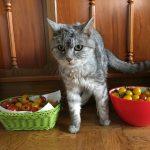 今年も猫とミニトマト '2018