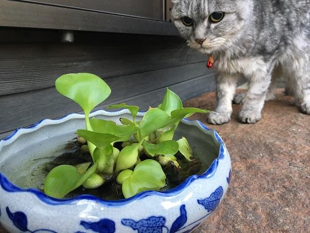 【追記あり】ホテイアオイと猫の落下防止 その2 ミルが落ちた!!!