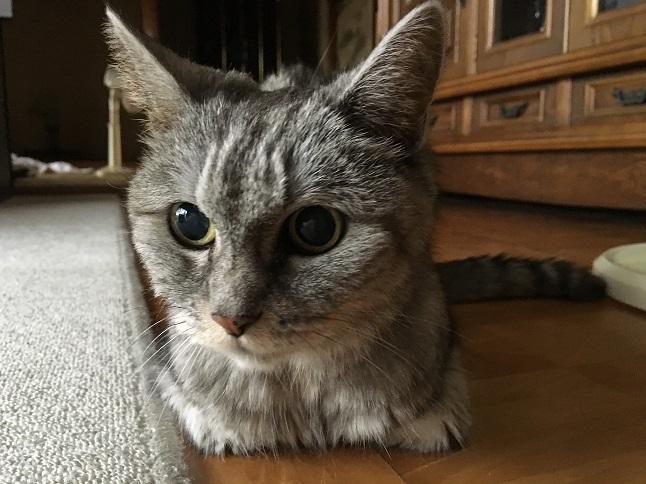 老猫は家の中で行方不明になる