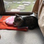 レンチン湯たんぽも片手乗りの猫