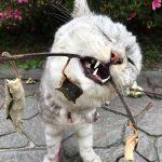 マタタビ科のキウイで猫を釣ってみた《2017年動画》