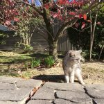 紅葉してる庭を散歩中に猫がヒロシです《動画あり》