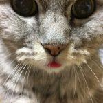 舌を出してる猫は間抜け顔《動画あり|とろ~り》