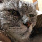 老猫が48時間おしっこしなくて以前罹りつけだった動物病院に電話することに