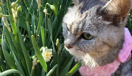 【動画あり】猫の散歩中 庭に咲いてる花と首元のはげ