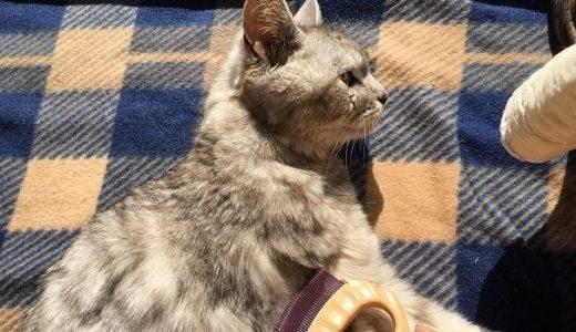 毛づくろいをしなくなった老猫の超特大毛玉