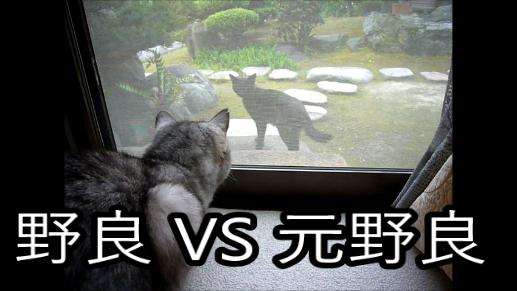 【動画】野良猫の黒猫とやりあう元野良のミル