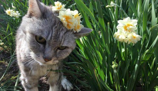 【動画】水仙と老猫