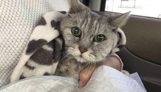 【動画あり】歯肉炎で顔が腫れちゃった猫