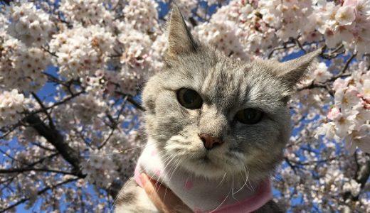 【動画あり】猫と桜 ~平成最後の桜 2019~