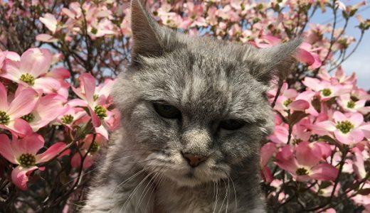 【動画あり】猫と花水木 2019