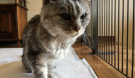 【動画あり】老猫の斜頸と関節痛が悪化