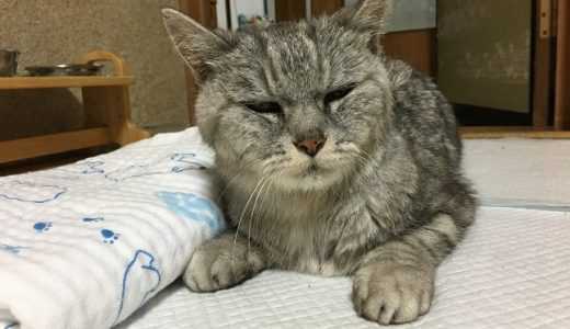 【動画あり】寝落ちした老猫におしっこ催促