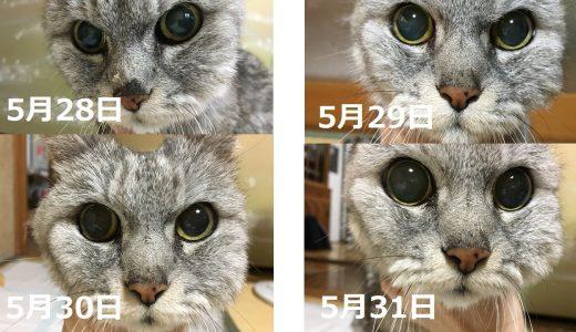 老猫が再び歯肉炎で顔が腫れて受診→頬に穴が空いて排膿!