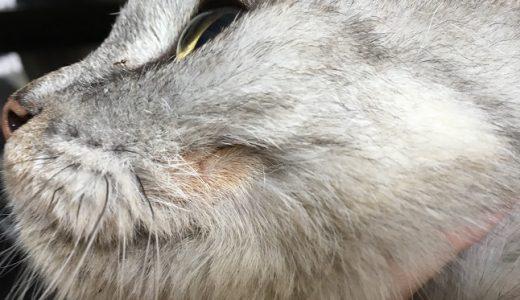 【動画あり】歯肉炎で出来たハゲに毛が生えた老猫