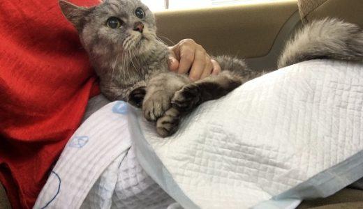 【動画あり】老猫の頬のその後と病院帰りのそわそわの理由