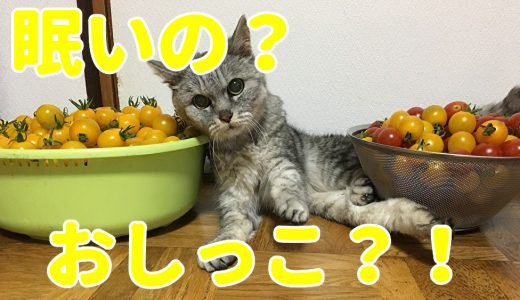 【動画】ミニトマトを乗せていたら突然眠くなる猫