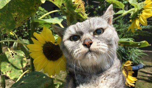 2019夏 猫とひまわり