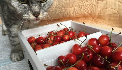 '2019佐藤錦にがっかりのち喜ぶ猫(=飼い主がw)