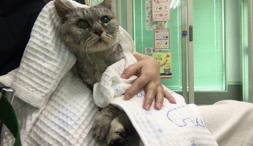 【動画あり】歯肉炎で動物病院受診後、またほっぺに穴があいた老猫