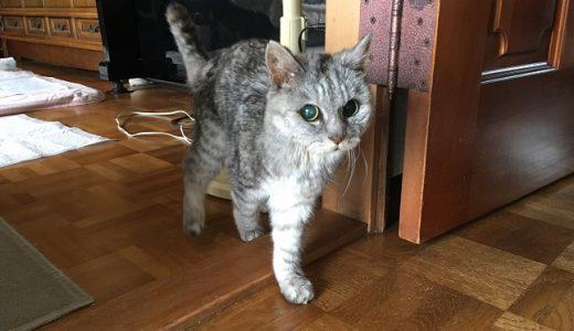 【動画あり】動物病院から帰宅後、久しぶりに歩いて自分でトイレに行く老猫