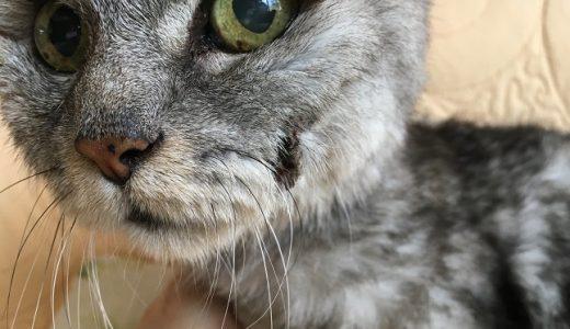 【動画あり】老猫、歯周炎後のかさぶたが取れかかってる!&右目からの涙