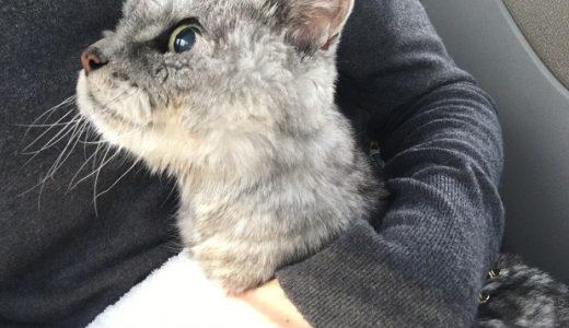 うんち出ない記録を更新した猫が病院へ到着直前で!