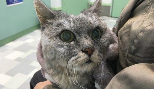 【動画あり】再び摘便しに動物病院へ行く老猫