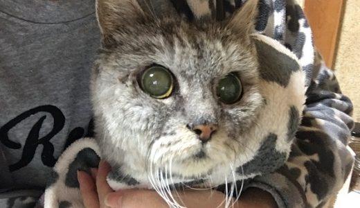 老猫の便秘にプラチナ乳酸菌|ひさびさ自力でうんちした!