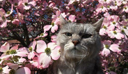 【2020 猫と花水木 vol.1】ミル18歳!今年も一緒に見れて感極まる|動画