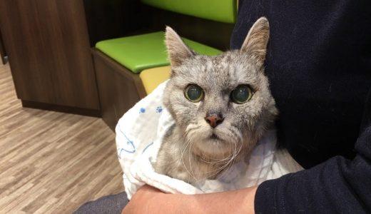 発作!【18歳脳炎の老猫】抗てんかん薬で大変なことに①|動画